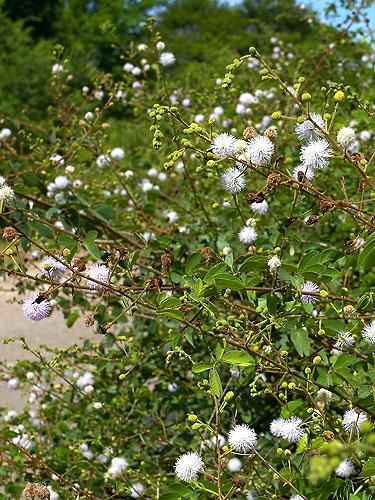 Espécime: Mimosa albida
