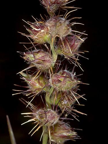 Specimen: Cenchrus echinatus