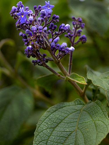 Specimen: Cornutia pyramidata