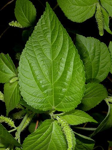 Specimen: Acalypha schiedeana