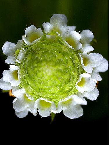 Specimen: Phyla dulcis