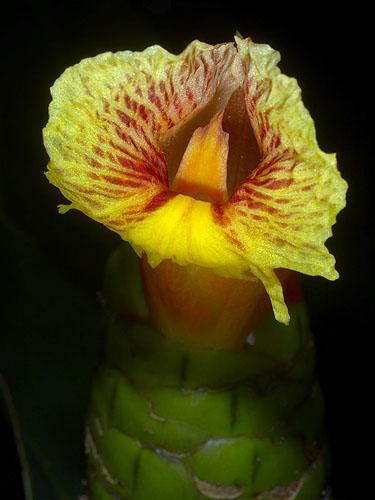 Specimen: Costus pictus