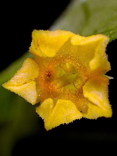 Specimen: Melothria pendula