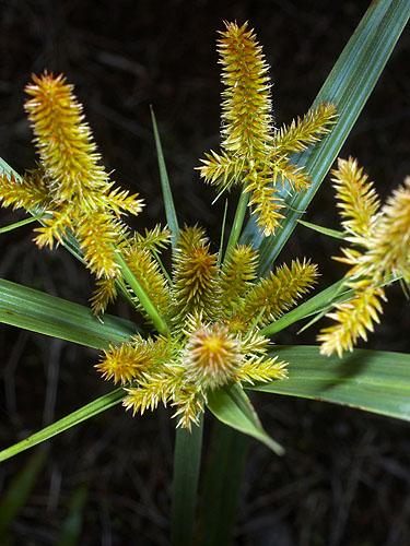 Specimen: Cyperus mutisii