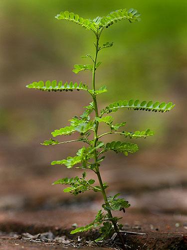 Specimen: Phyllanthus amarus