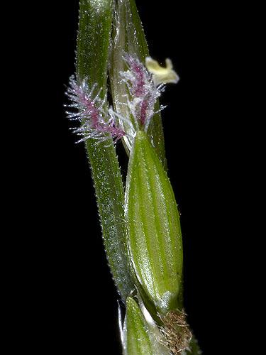 Specimen: Digitaria bicornis