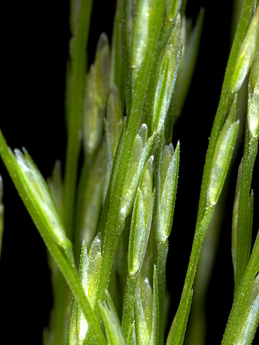 Specimen: Leptochloa panicea