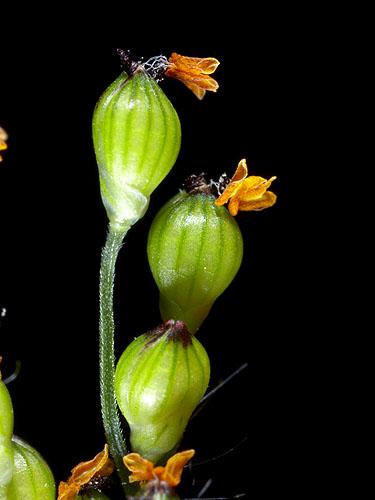 Specimen: Urochloa fusca