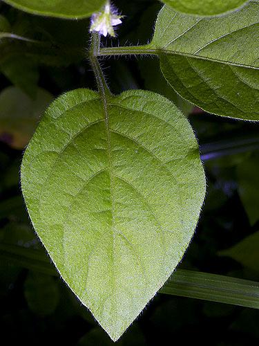 Specimen: Solanum deflexum