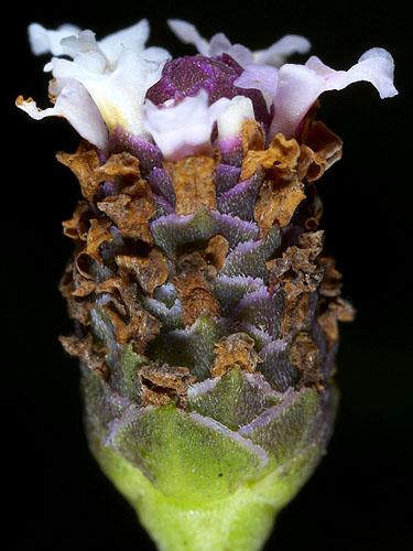 Espécimen: Phyla nodiflora
