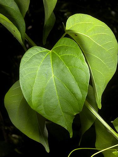 Specimen: Bignonia diversifolia