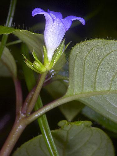 Specimen: Coccocypselum herbaceum