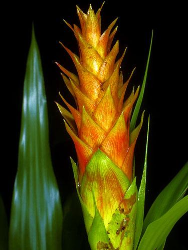 Specimen: Pitcairnia imbricata