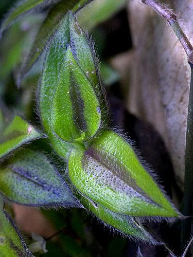 Specimen: Gibasis geniculata