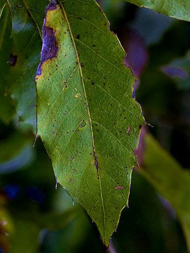 Specimen: Quercus cortesii