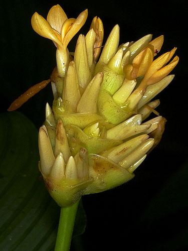 Specimen: Calathea macrosepala