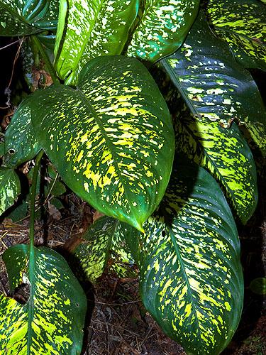 Espécimen: Dieffenbachia seguine