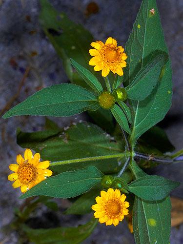 Espécimen: Melampodium divaricatum