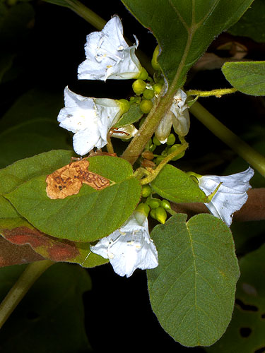 Specimen: Convolvulus nodiflorus
