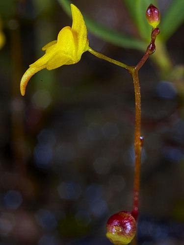 Specimen: Utricularia subulata