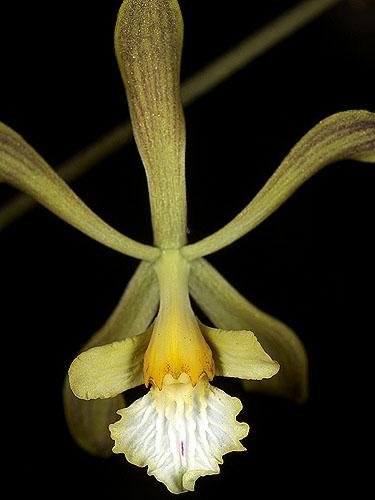Specimen: Encyclia papillosa