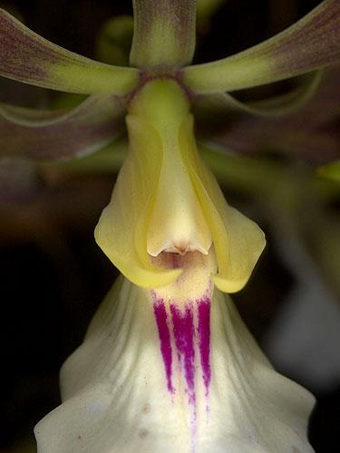 Specimen: Encyclia cordigera