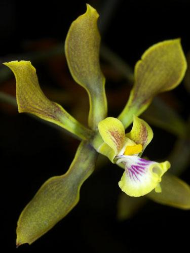 Specimen: Encyclia stellata