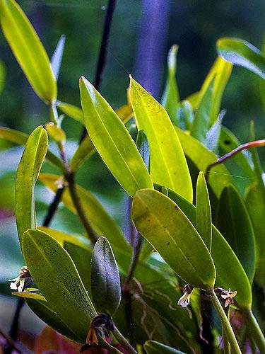 Specimen: Epidendrum phragmites
