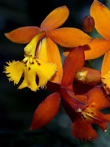 Specimen: Epidendrum radicans