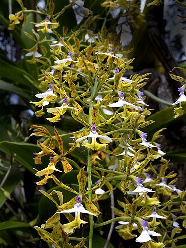 Specimen: Epidendrum stamfordianum