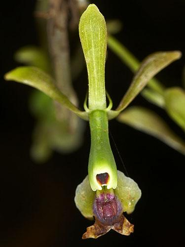 Specimen: Epidendrum turialvae