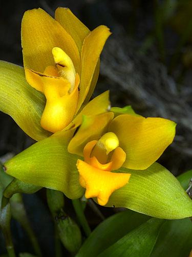 Specimen: Lycaste bradeorum