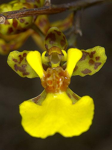 Specimen: Oncidium teres