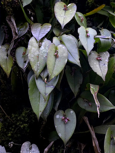 Specimen: Pleurothallis matudana