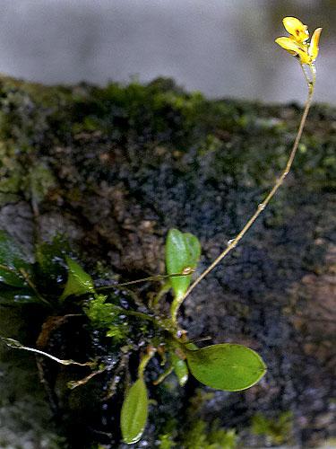 Specimen: Pleurothallis microphylla