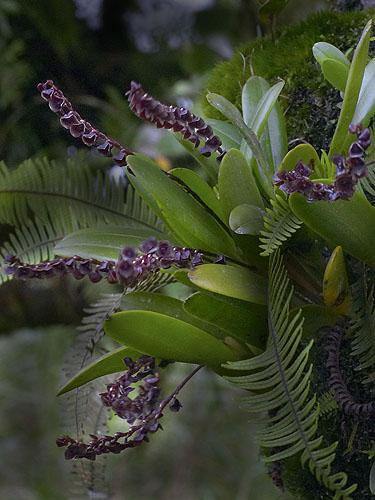 Espécime: Stelis purpurascens