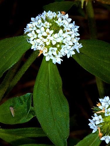 Specimen: Mitracarpus hirtus