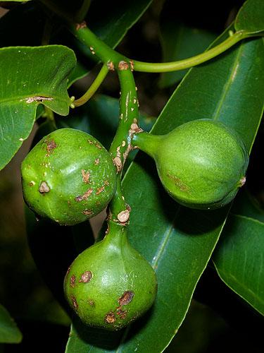 Specimen: Sapium macrocarpum