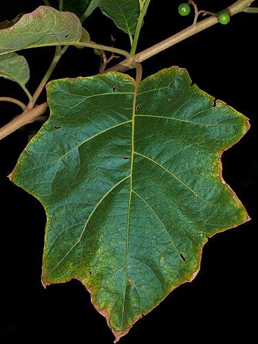 Specimen: Solanum torvum