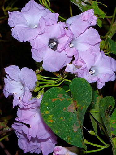 Specimen: Ipomoea batatoides
