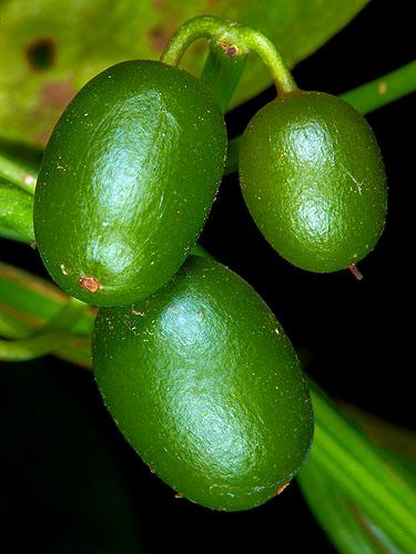 Specimen: Cayaponia racemosa