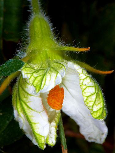 Specimen: Polyclathra cucumerina