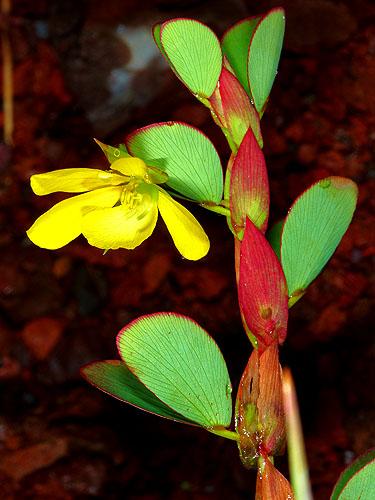 Espécimen: Chamaecrista diphylla