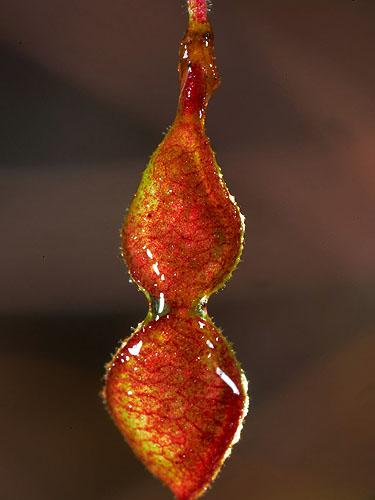 Specimen: Desmodium neomexicanum