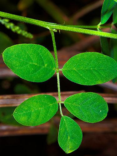 Specimen: Indigofera jamaicensis