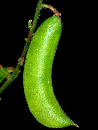 Specimen: Phaseolus lunatus