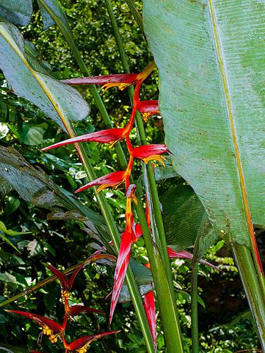 Specimen: Heliconia collinsiana