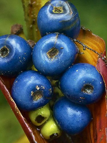 Specimen: Heliconia latispatha