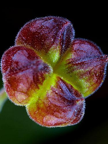 Specimen: Abutilon trisulcatum