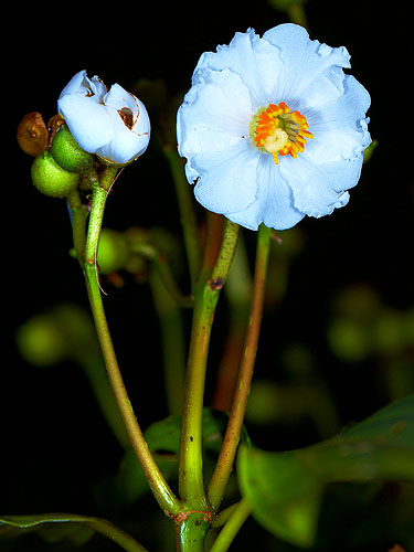 Specimen: Conostegia oerstediana
